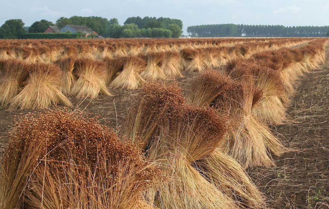 Stacked to dry the stalks of the flax plant